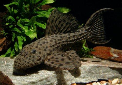 L160 Псевдокантикус спиносус (Pseudacanthicus spinosus)