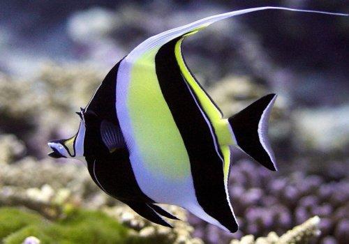 Занкл (Zanclus canescens)