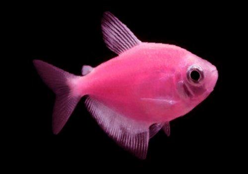 Тернеция розовая (Moonrise Pink Tetra GloFish)
